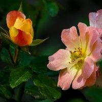 Сентябрьские розы :: Павел Руденко