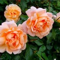 Розы и осенью розы... :: °•●Елена●•° Аникина♀