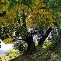 Зазолотилась первая листва... :: Лесо-Вед (Баранов)