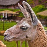 Перу. Портрет грустной ламы :: Андрей Левин