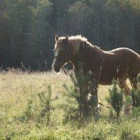 Старый конь :: Валерия заноска