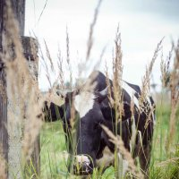 Корова :: Астарта Драгнил