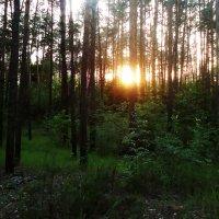 Вечер в лесу :: Виктория Власова