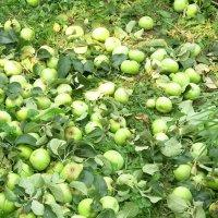 Недозревшие яблоки на земле. Под тяжестью обломилась огромная ветка :: татьяна