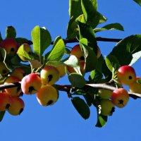 Наливные яблочки :: Fededuard Винтанюк