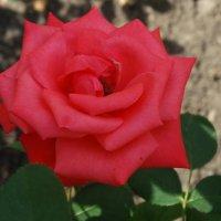 Роза сентября... :: Тамара (st.tamara)