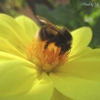 пчелка :: Александра Тетерина