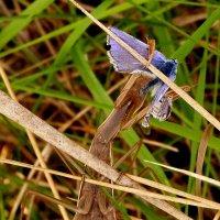 богомол поймал бабочку :: Александр Прокудин