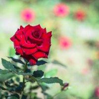 роза :: Анастасия