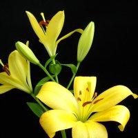 Желтые Лилии :: Victoria