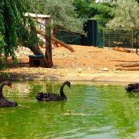 Черные лебеди. :: Оля Богданович