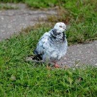 серый :: linnud