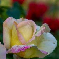 роза :: Елена Митряйкина