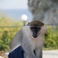 Прикольная обезьянка :: Станислав Гераськин