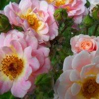 Цветы шиповника :: Victoria