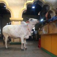 Священная корова :: Валерия Климченко