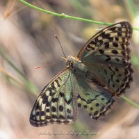 бабочка :: Sergey Bagach