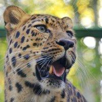 Дальневосточный леопард :: Светлана Винокурова