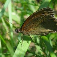 бабочка :: Марина Ринкашикитока