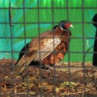 Золотой фазан :: Дмитрий Никитин