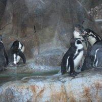 Пингвины Гумбольдта :: Дмитрий Никитин