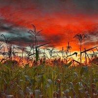 Пламенные мысли кукурузы :: Александр