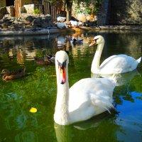 Лебеди :: Victoria
