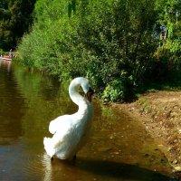 """Лебедь: """"Смотри, какой я красивый!"""" :) :: Nina Yudicheva"""