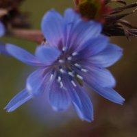 Цветок в конце лета. :: Олег Чернышев