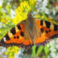 Бабочка- красавица... :: Valentina