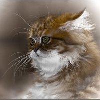Шиншилла-из серии Кошки очарование мое! :: Shmual Hava Retro