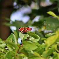 Бабочка :: Marina Pavlova