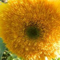 Лучистый цветок :: Ольга