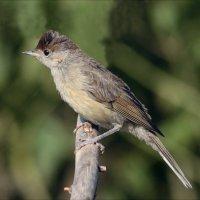 Славка черноголовка-самец :: Gavrila68 -Женя