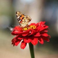 Бабочка и циния :: TATYANA PODYMA