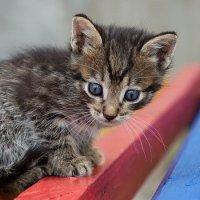 Дворовый котенок :: AnnetSV