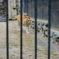 тигр :: Света Кондрашова