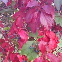 Девичий виноград ...... Осень :: Виталий  Селиванов