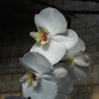 Орхидея :: Ольга