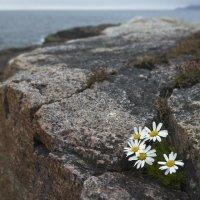 Цветы, камни, море :: Александр Павленко