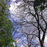 Бундук канадский - Кентуккийское кофейное дерево можно найти в Луганске :: Наталья (ShadeNataly) Мельник
