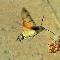 Мотылек-колибри-2 :: Elena Соломенцева