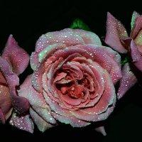 розочка вся в слезах :: Роза Бара