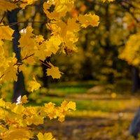 Кленовое золото :: Виталий