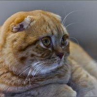 Шотландец-из серии Кошки очарование мое! :: Shmual Hava Retro