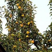 созрели груши в саду у дяди Вани :: Александр Корчемный