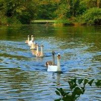 Лебединое озеро (серия) Потянулись на фотосессию :: Nina Yudicheva