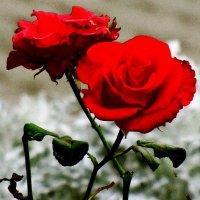 роза :: Иван Антипов