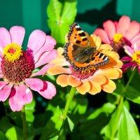 Бабочка в солнечном свете... :: Марина Романова