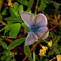 голубянка как цветок :: Александр Прокудин